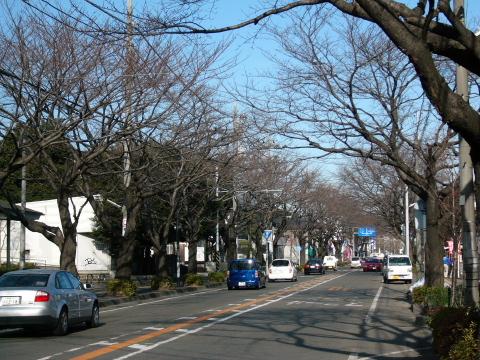 南橋本青葉線桜並木